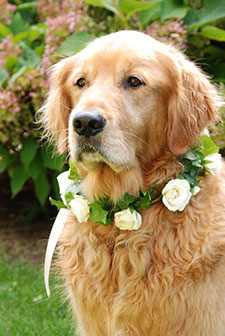 pic-golden-retriever
